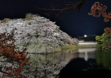 彦根城と夜桜(アイキャッチ画像)