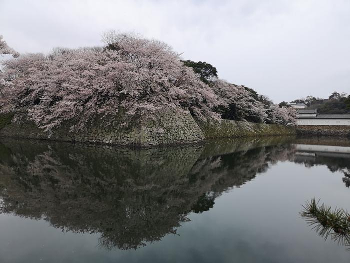 彦根城の桜(その1)