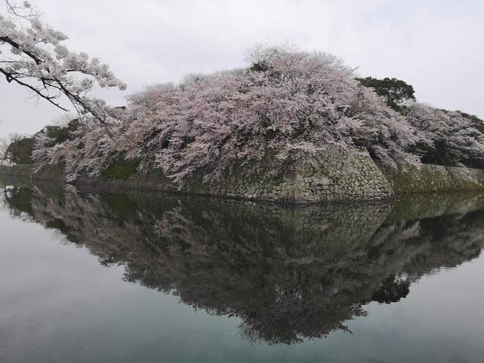 彦根城の桜(その2)