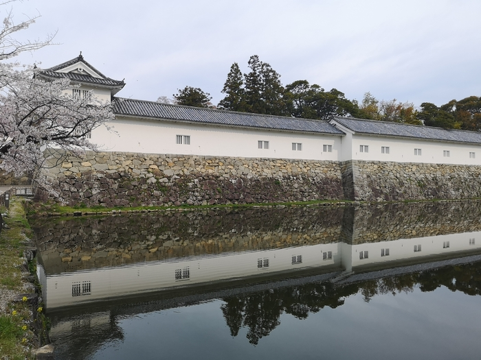 彦根城の桜(その4)