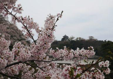 彦根城と桜(アイキャッチ画像)