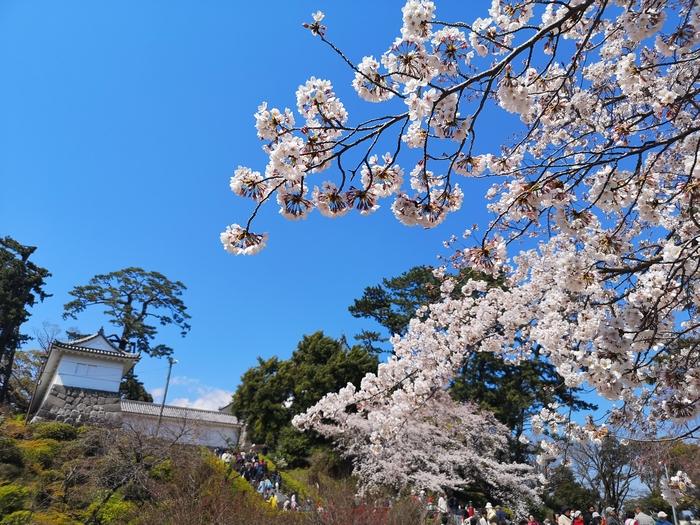 常盤木門と桜(その3)