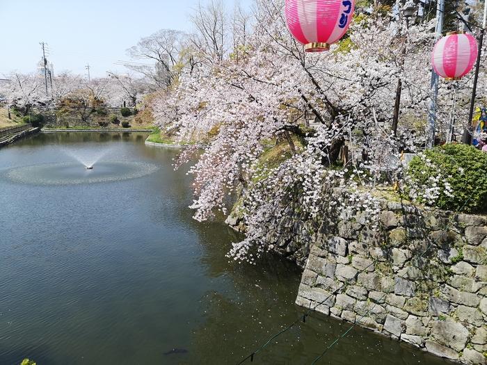 龍城堀と桜